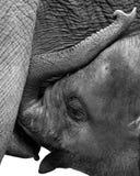 liten elefant Fotografering för Bildbyråer
