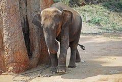 Liten elefant i kedjor i djungeln Arkivfoto