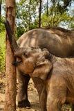 Liten elefant som spelar med trädet Arkivfoton