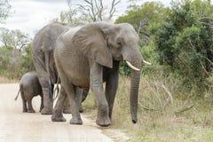 Liten elefantflock på sidan av en grusväg royaltyfri fotografi