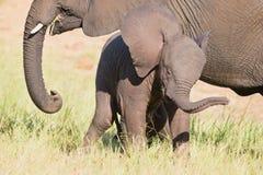 Liten elefantkalvlek i lott för långt grönt gräs och haav f Arkivbilder