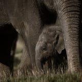 liten elefantmoder Royaltyfri Bild