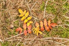 Liten färgad buske i hösten, Tyskland Arkivbild