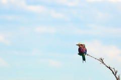 Liten färgrik fågel på en förgrena sig. Royaltyfri Fotografi