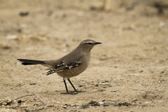Liten fågel över sanden royaltyfria foton