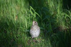 Liten fågel för fågelunge på gräset arkivfoton