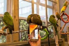 Liten fågel för papegoja på telefonen Royaltyfri Fotografi