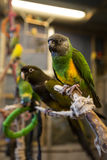 Liten fågel för papegoja på telefonen Arkivfoton
