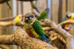 Liten fågel för papegoja på telefonen Royaltyfri Bild