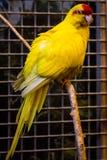 Liten fågel för papegoja på telefonen Fotografering för Bildbyråer