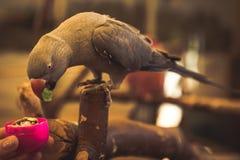 Liten fågel för papegoja på telefonen Royaltyfri Foto