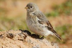 Liten fågel (förbipasseranden spp.) i Krafla område, Island royaltyfri bild