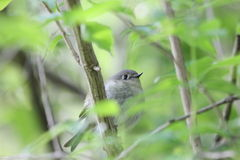 Liten fågel i buske Arkivfoton