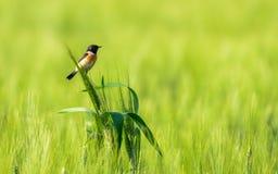 Liten fågel i vetefält royaltyfria bilder