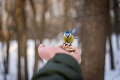 Liten fågel i vinterskog royaltyfri fotografi