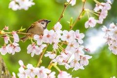 Liten fågel och härliga Cherry Blossom royaltyfri foto