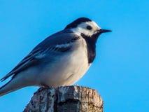 liten fågel på en bakgrund för blå himmel Royaltyfria Bilder