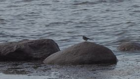 Liten fågel på stenar i golfen av Finland lager videofilmer