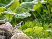 Liten fågel på stenen Royaltyfria Foton