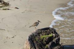 Liten fågel på stubbe på havet Arkivfoton
