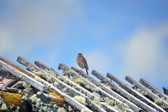 Liten fågel på taket av en smula byggnad på paramoen royaltyfri bild