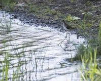 Liten fågel på vatten i en parkera Fotografering för Bildbyråer