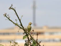 Liten fågel som sätta sig i buskarna Royaltyfri Fotografi