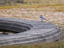Liten fågel vid pölen Royaltyfri Foto