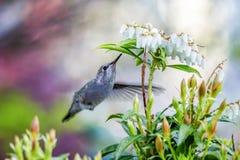 Liten fågelBi-kolibri Royaltyfria Foton
