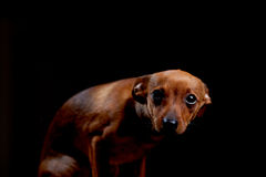 Liten förskräckt terrier på svart arkivbild