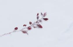 Liten filial av barberrybusken under frostattac royaltyfria foton