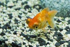 Liten fisk i ett akvarium Royaltyfria Foton
