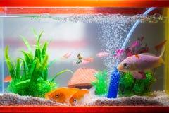 Liten fisk i fiskbehållare eller akvarium, guld- fisk, guppy och rött f Arkivbilder