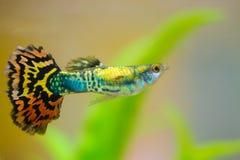 Liten fisk i fiskbehållare eller akvarium, guld- fisk, guppy och rött f Royaltyfria Foton