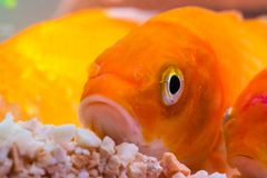 Liten fisk i fiskbehållare eller akvarium, guld- fisk, guppy och rött f Royaltyfri Bild