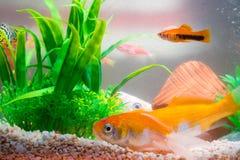 Liten fisk i fiskbehållare eller akvarium, guld- fisk, guppy och rött f Arkivfoton