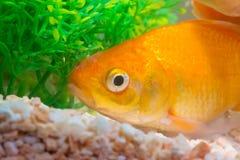 Liten fisk i fiskbehållare eller akvarium, guld- fisk, guppy och rött f Arkivbild
