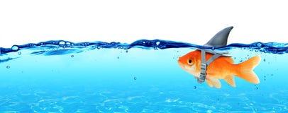 Liten fisk med ambitioner av en stor haj arkivfoton