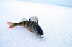 Liten fisk på is Arkivbilder