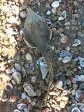 Liten fisk på stranden Royaltyfri Bild