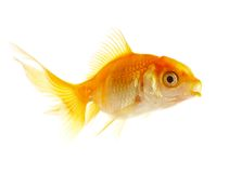 liten fiskguld Royaltyfri Fotografi