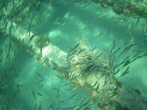 Liten fisksimning runt om ett korallbildande som växer från en metallstråle på en skeppsbrott Arkivfoton