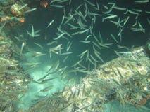 Liten fisksimning runt om ett korallbildande som växer från en metallstråle på en skeppsbrott Arkivbild