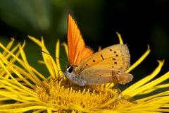 liten fjäril Arkivbild