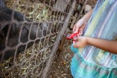 Liten flicka med rastlös människaspinnaren nära staketet med svin Arkivbilder