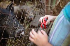 Liten flicka med rastlös människaspinnaren nära staketet med svin Arkivbild