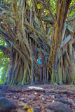 Liten flicka- och jättebanyanträd royaltyfri foto