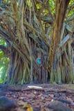 Liten flicka- och jättebanyanträd arkivfoto