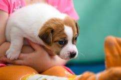 Liten flicka som kramar en avel för valpstålarrussel terrier Henne ` s som rymmer hunden på henne händer Royaltyfri Bild