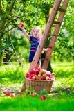 Liten flickaplockningäpplen på en lantgård Arkivbilder